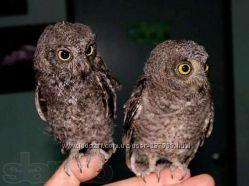 Продам карликовая сова сплюшка - ручные птенцы