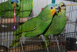 Продам ручного попугая венесуэльский амазон птенцы выкормыши