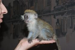 Продам домашнюю декоративную карликовую обезьянку Верветка