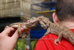 Бородатая агама - ручные неприхотливые ящерицы