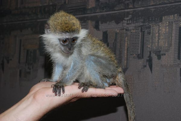 Купить ручную карликовую обезьянку
