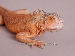 Игуана обыкновенная Iguana iguana RED красная морфа
