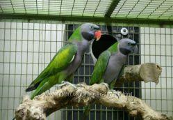 Большой китайский кольчатый попугай Psittacula derbiana