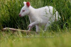 Кенгуру Беннета Белые- ручные карликовые кенгуру