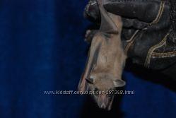 Продам ручной Нильский крылан, домашняя летучая мышь