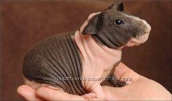 Скинни или голая морская свинка - ручные малыши