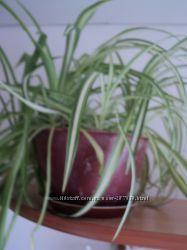 Хлорофитум - Chlorophitum 2 вида